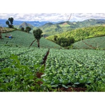 cabbages grow in the mountains around mae sariang